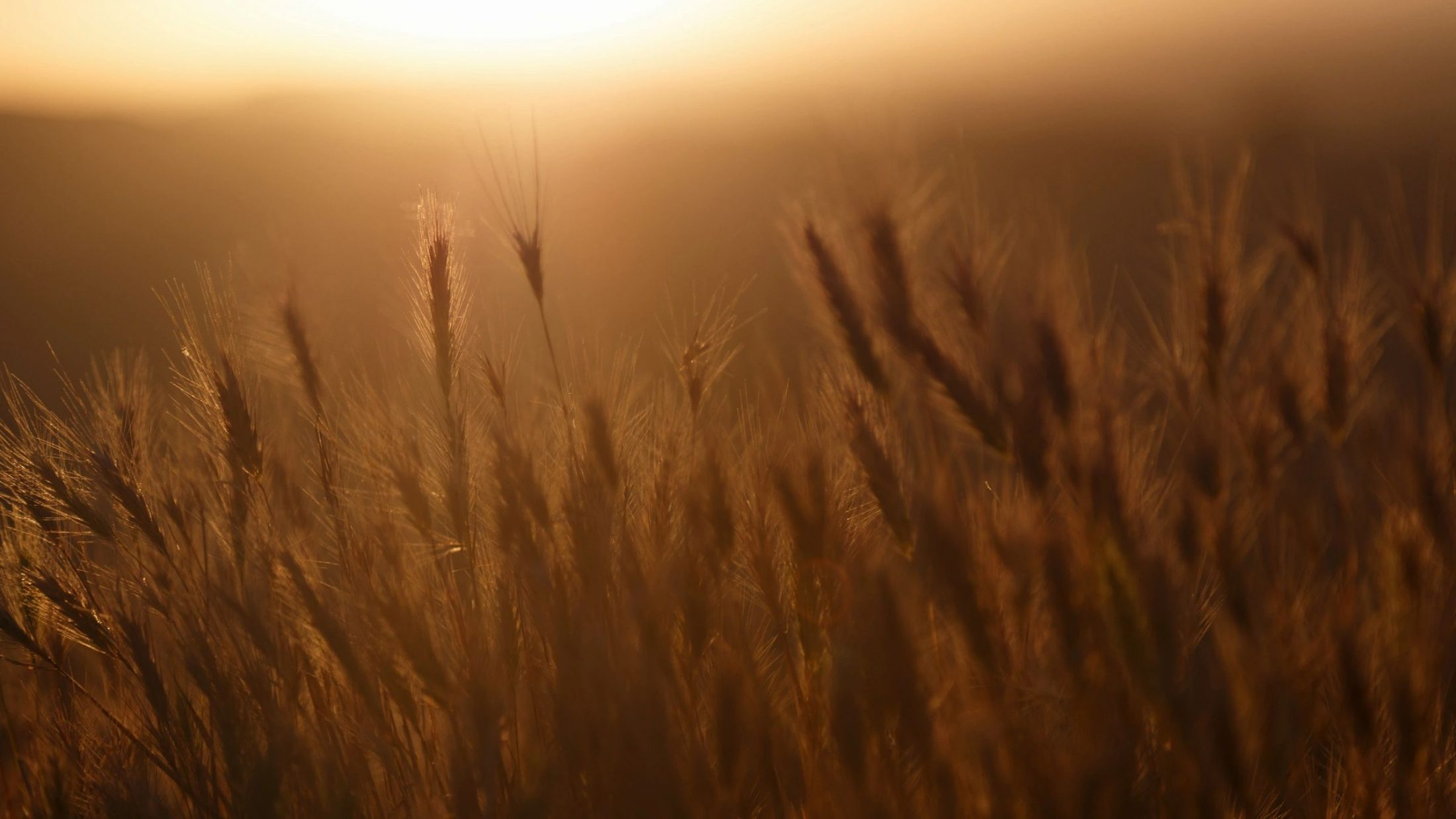 Wheat and sunshine for International Widows Day blog post by DC writer Marjorie Brimley